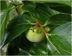 Ebenales (ebenaceae) Ağacı
