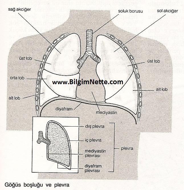göğüs boşluğu