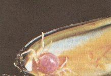 midye yengeci