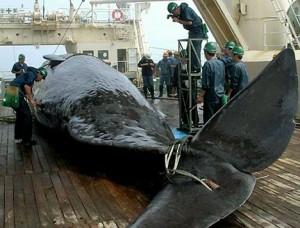 balina avı