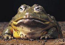 dev kurbağa