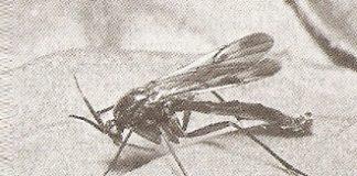 mantar sineği