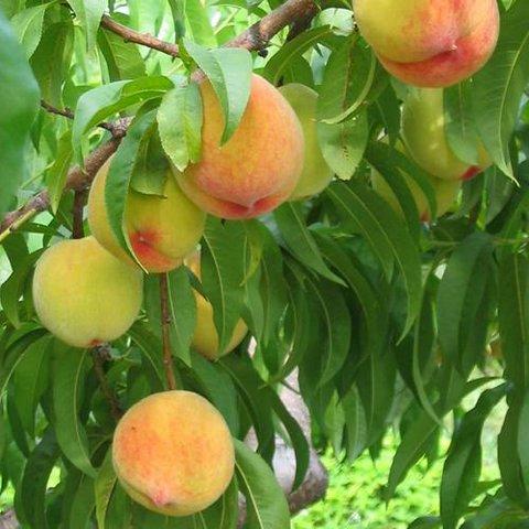 Adi Şeftali (Persica vulgaris)