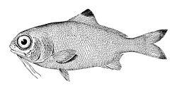 sakallı balık