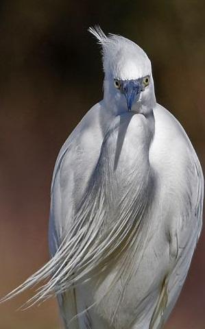 sakallı kuş