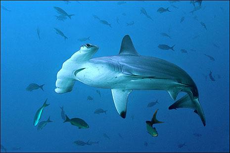 Çekiç Balığı