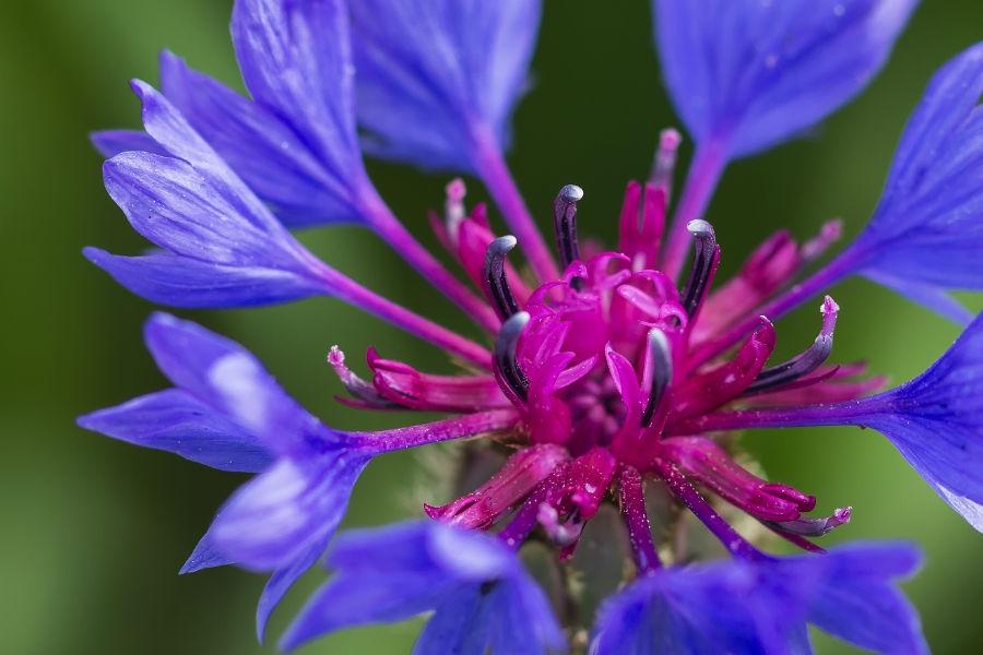 peygamber çiçeği